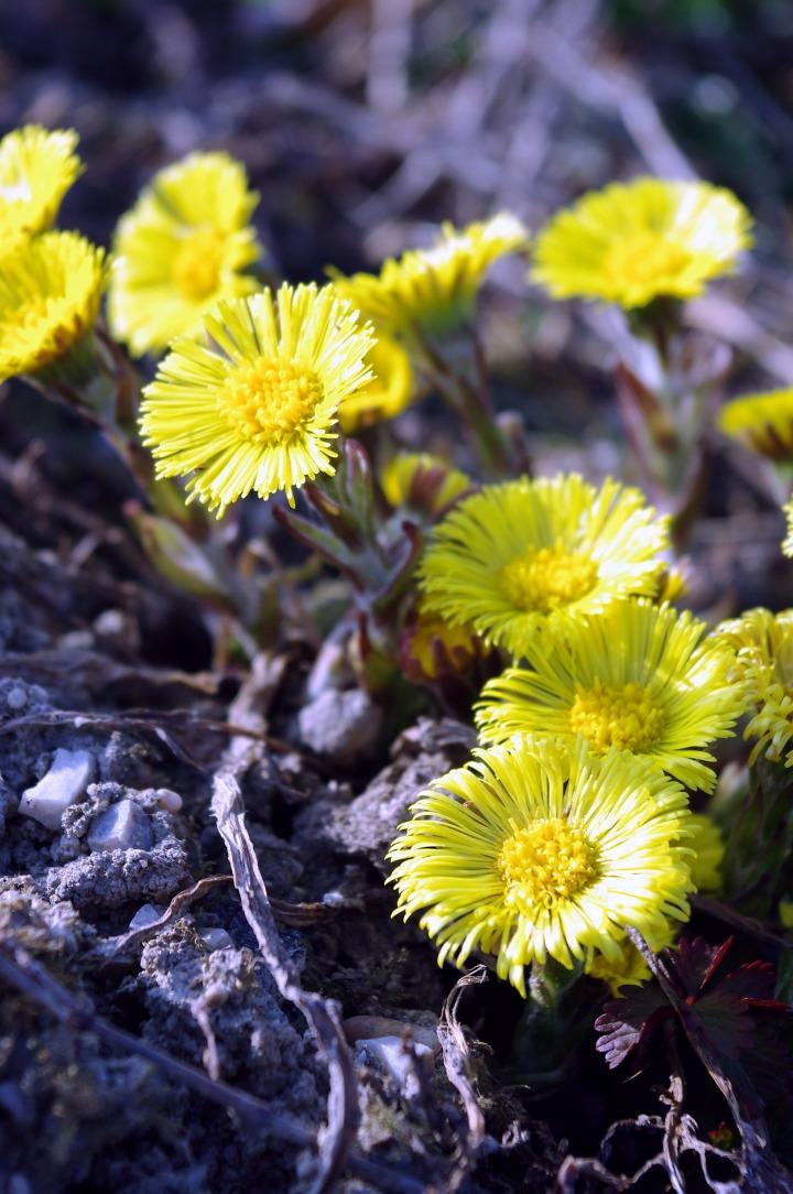 Neznane rumene cvetlice