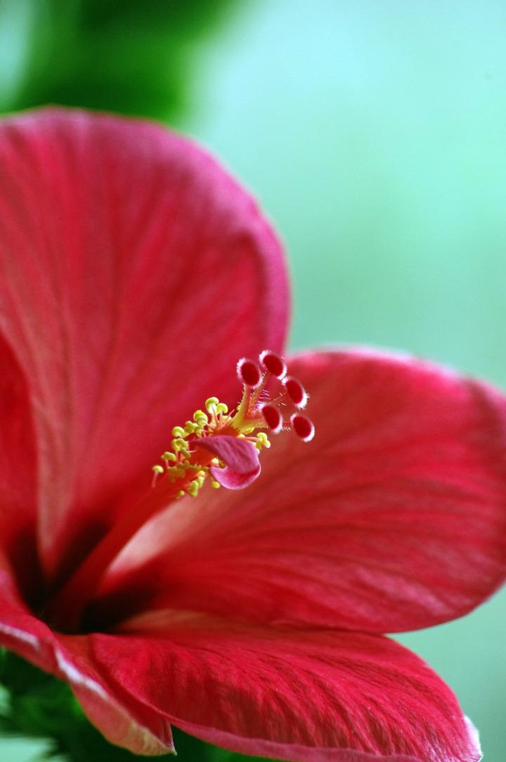 Hibiskusov cvet