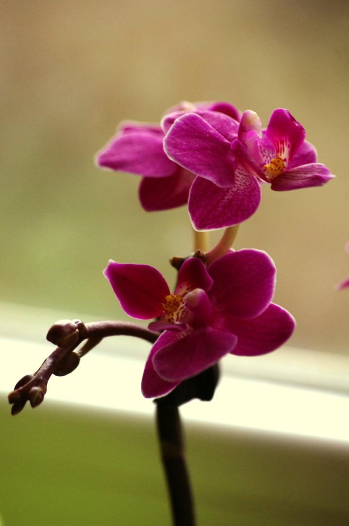 Miniaturna orhideja